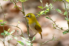 An Indian White Eye waiting at the leaky water pipe