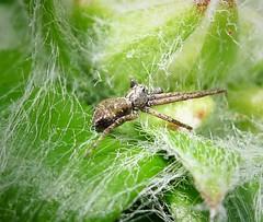 Running Crab Spider Philodromus cf aureolus subadult male