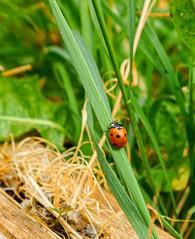 Ladybird up the grass stalk