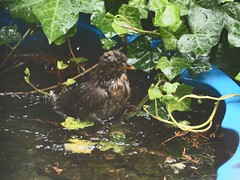 Young starling takes a bath in a shell | May 26, 2020 | Tarbek - Schleswig-Holstein - Germany