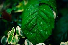 Raindrops on a green leaf closeup.