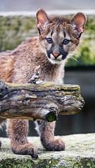 Cub behind the log