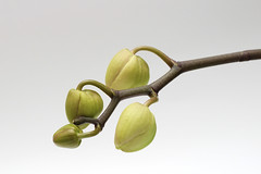 Green orchid buds on a white background. Perfect blank for a holiday card