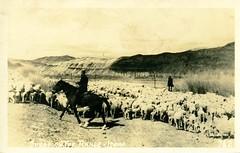 [IDAHO-J-0150] Idaho Sheep