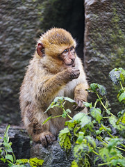 Dirty young macaque sitting on the stone