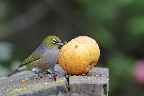 Silvereye and apple