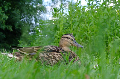 Munich - Mallard Duck