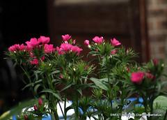 (Dianthus barbatus).