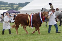 South Devon Bull - Best in Show