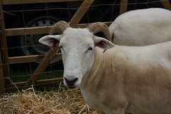 Wiltshire Horned Sheep