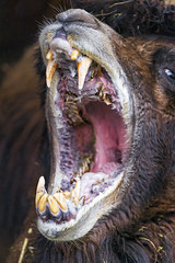 The mouth of a camel