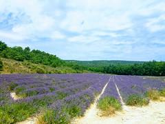 Cultivo de lavanda (Lavandula dentata) en la Provence. Gordes  (Francia)