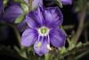 Photo:Veronica schmidtiana Regel subsp. senanensis (Maxim.) Kitam. et Murata var. yezoalpina (Koidz. ex H.Hara) T.Yamaz. f. exigua (Takeda) Kitam. et Murata By sunoochi