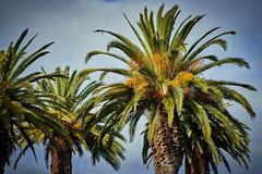 Phoenix Palms in flower