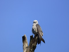 Mississippi Kite, 111 Ranch Road Park, Garland, Texas, May 28, 2020