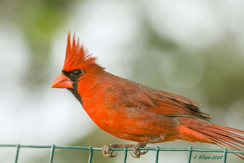 IMG_1540 male red cardinal