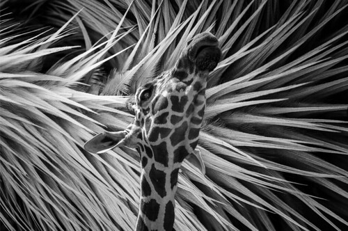 Giraffe and Feathers