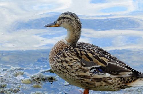 Munich - Mallard Duck, posing