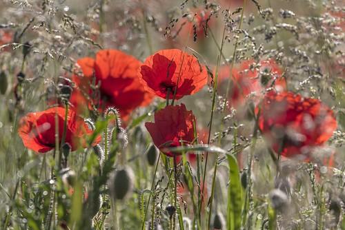 *in the poppy field*