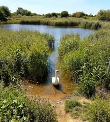 Swan by Langstone Harbour 1