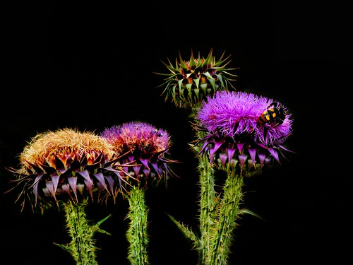 colorful Thistle Greek!!!