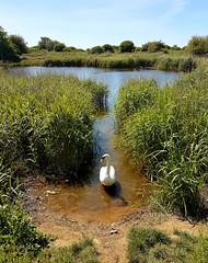 Swan by Langstone Harbour 2