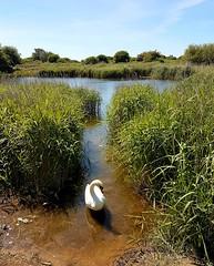 Swan by Langstone Harbour 4
