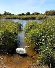 Swan by Langstone Harbour 6