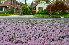 Carpet Of Cherry Blossoms On Tennis Place