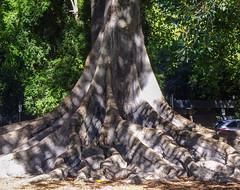 Dappled Roots