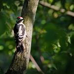 Great spotted woodpecker (male) , strakapoud velký (samec), CZE, 2020