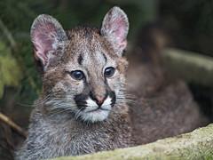 Cute shy puma cub