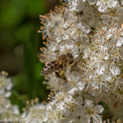 Honeybee on Pyracantha blossom (Apis mellifera)