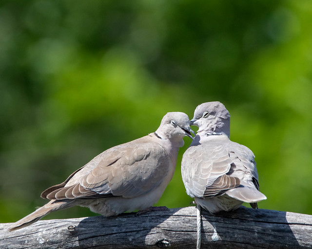 Mourning Dove-7