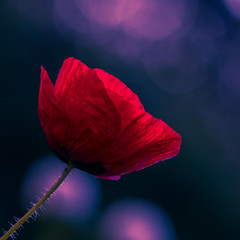 Poppy of night