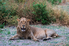 Löwe / Lion (Snip Tail)