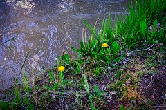 Two Dandelions By A Creek