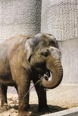 Elephant London Zoo