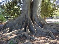 Moreton Bay Fig Roots