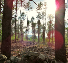 Afternoon Forest Sun