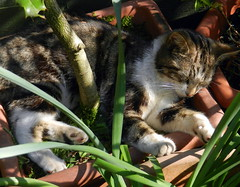 William sleeping in the shade of a holly bush.