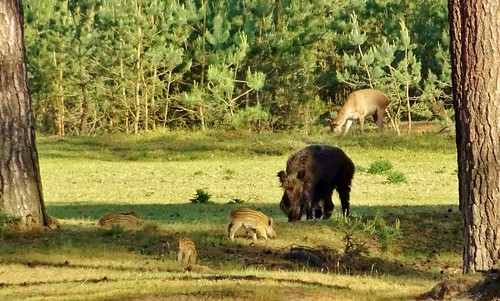 Boar with piglets, deer, Hoge Veluwe Nationalpark, Netherlands