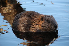 Beaver puppy