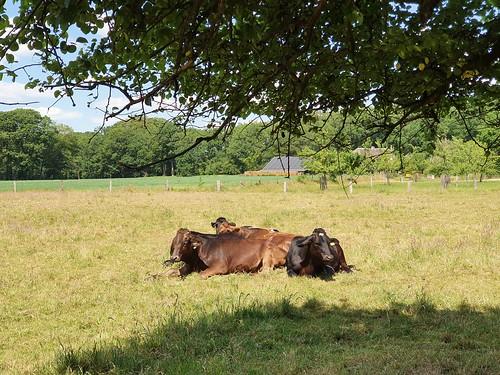 Koeien Kasteel Hackfort Vorden 30-05-2020