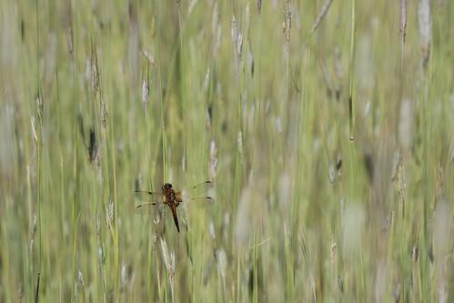 Dragonfly in the grain field