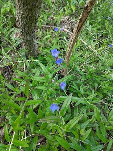 Blaurote Steinsame (Aegonychon purpurocaeruleum)