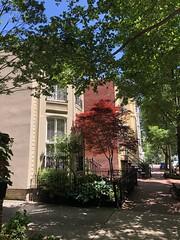 Red Japanese maple on O Street NW, Washington, D.C.