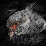 Southern Screamer Closeup