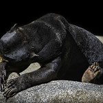 Bornean Sun Bear Sleeping