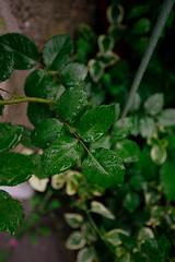 Raindrops on green leaves roses in the garden.